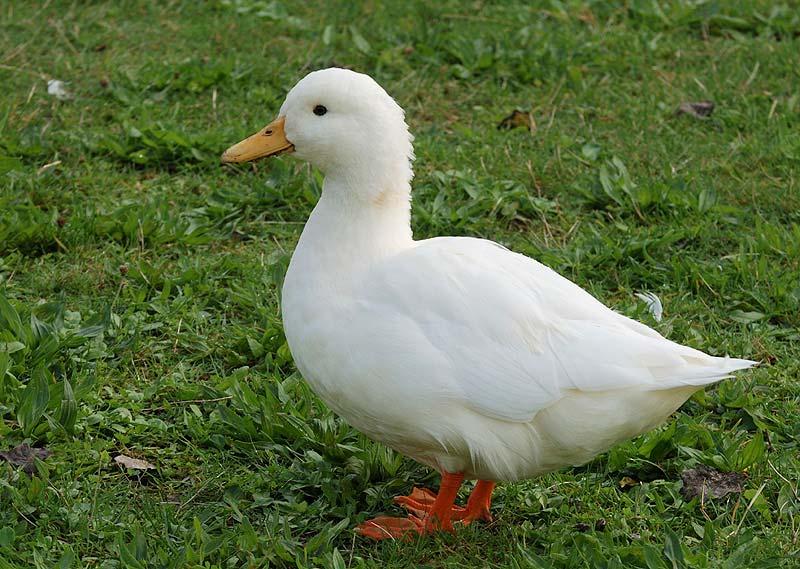 Imagenes de un pato