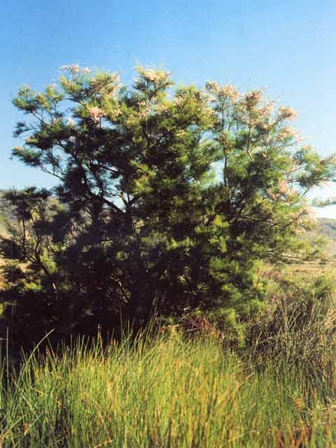 Taray o Taraje en Calblanque