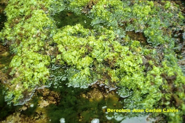 Organismos marinos - Vegetales marinos - Algas verdes ...  Organismos mari...