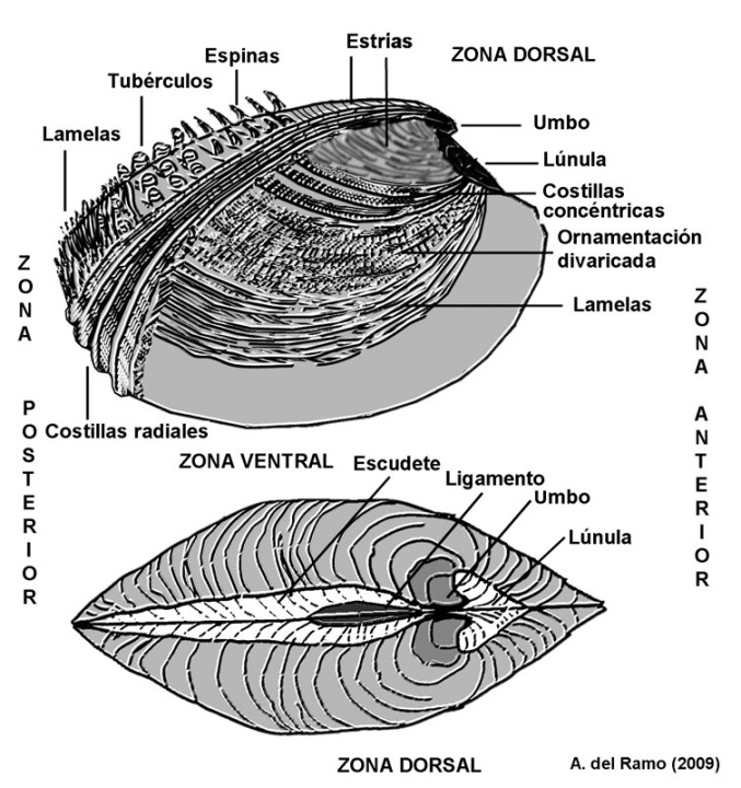 Fósiles - Moluscos - Bivalvos - Región de Murcia Digital
