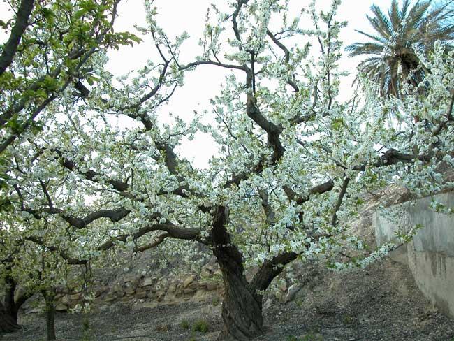 Ciruelo prunas domestica rosaceae regi n de murcia for Ciruela santa rosa