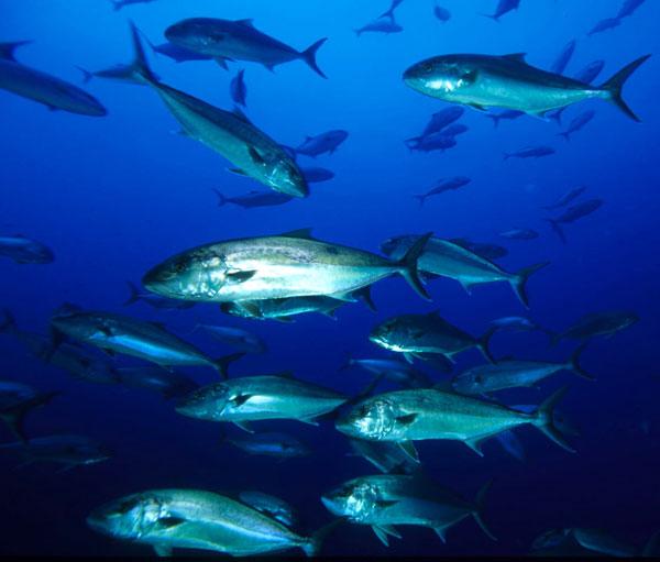 Figura 1. Las lechas son peces nadadores que pertenecen al necton