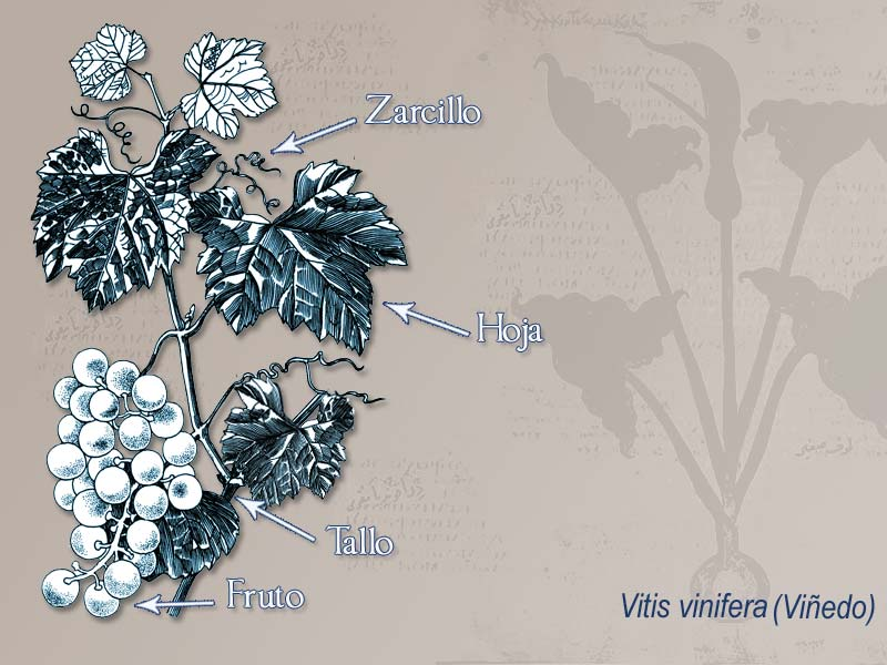Ilustración descriptiva de la planta [Uva]