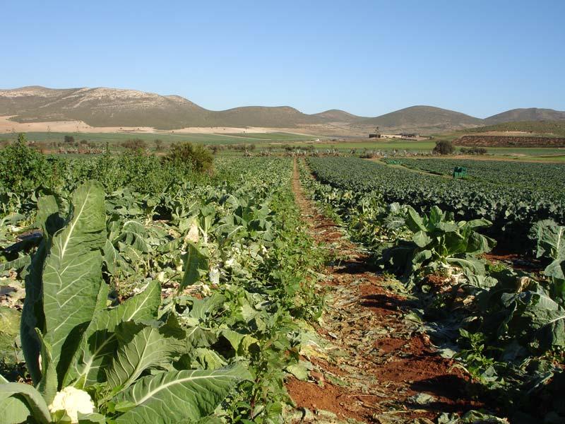 Plantación recién cultivada de coliflores [Coliflor]