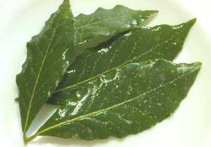 Laurel caracter sticas regi n de murcia digital for Caracteristicas de los arboles de hoja perenne